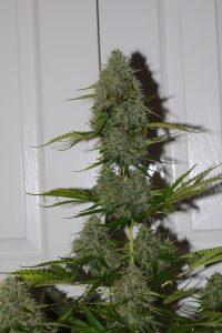 BCN Critical XXL Autoflower, Weedstockers