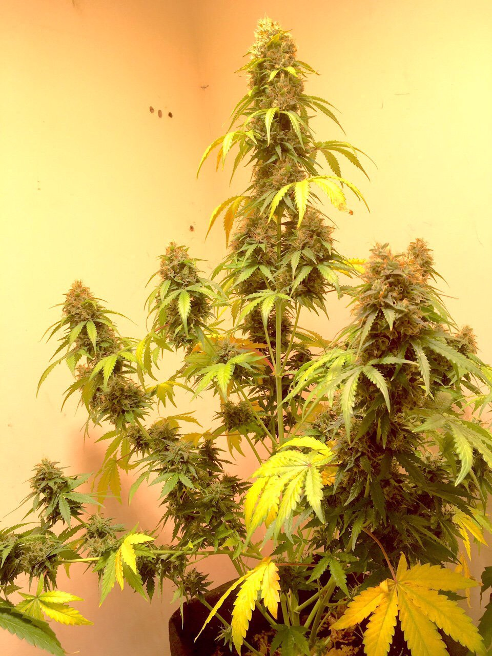 ak420 autoflower seeds, Weedstockers
