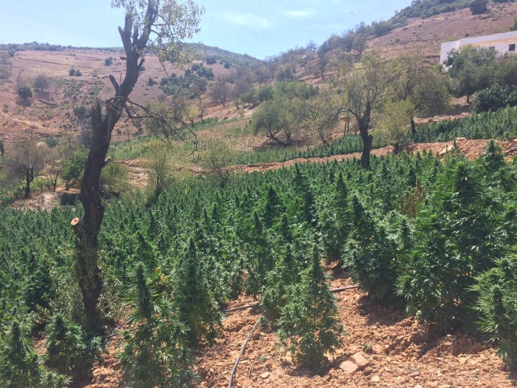 BCN Critical XXL Autofloreciente, Weedstockers