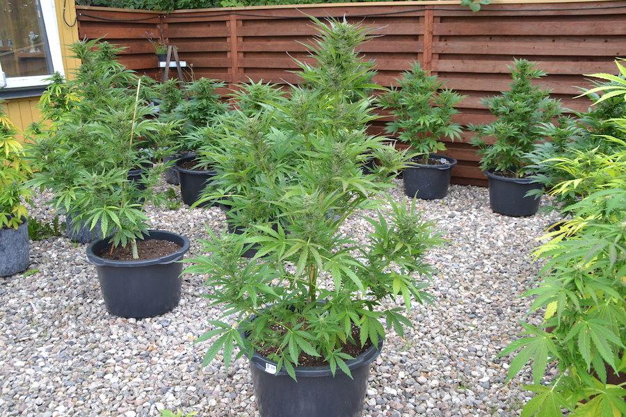 bcn critical xxl, Weedstockers