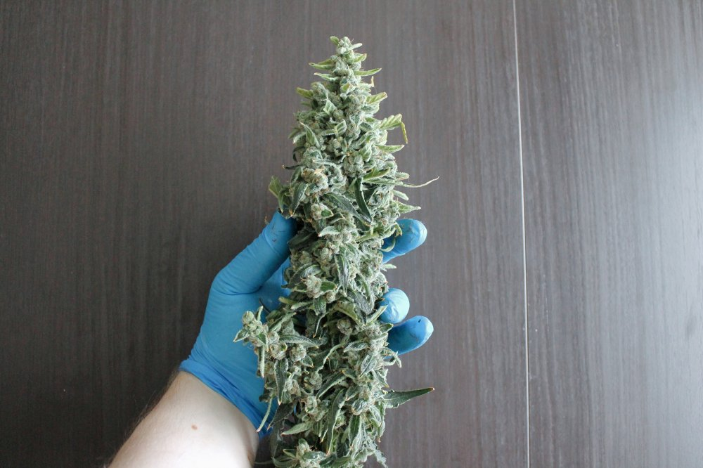 Candy Dawg Autoflower, Weedstockers