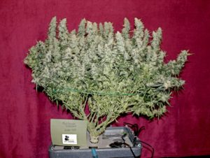 autoflower,autoflower strains, Weedstockers