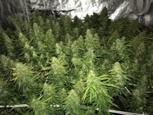 scrog,scrog method, Weedstockers