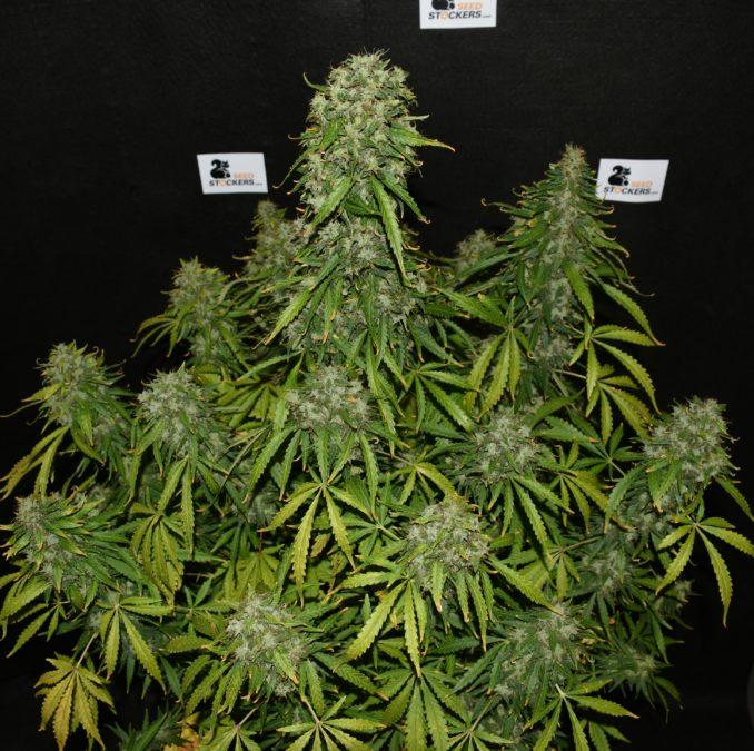 autoflower,autoflower strains, Weedstockers