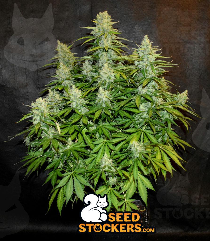 sativa, Weedstockers