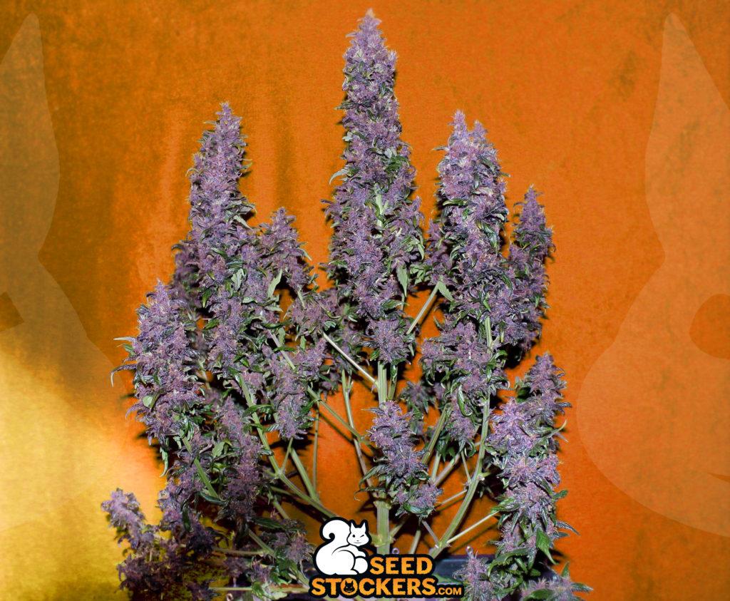 cannabinoids, Weedstockers