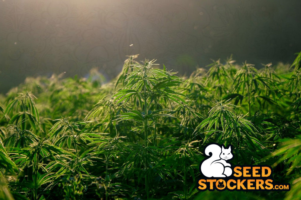 hemp, Weedstockers