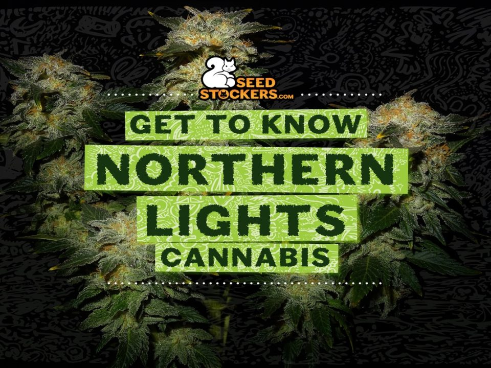northern lights cannabis, Weedstockers