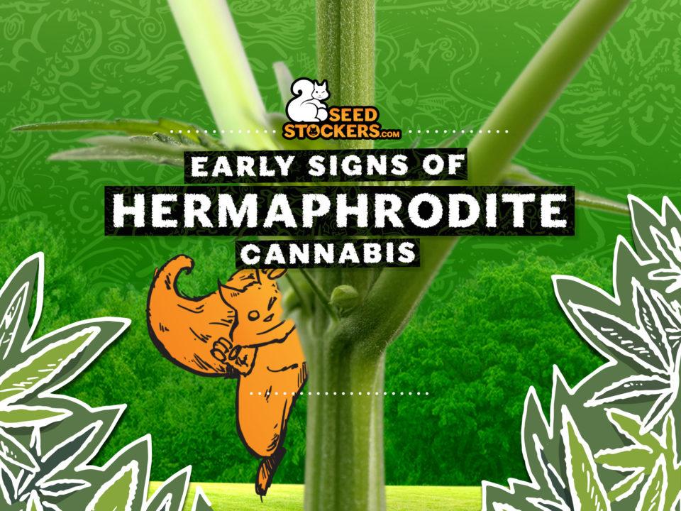 hermaphrodite cannabis, Weedstockers