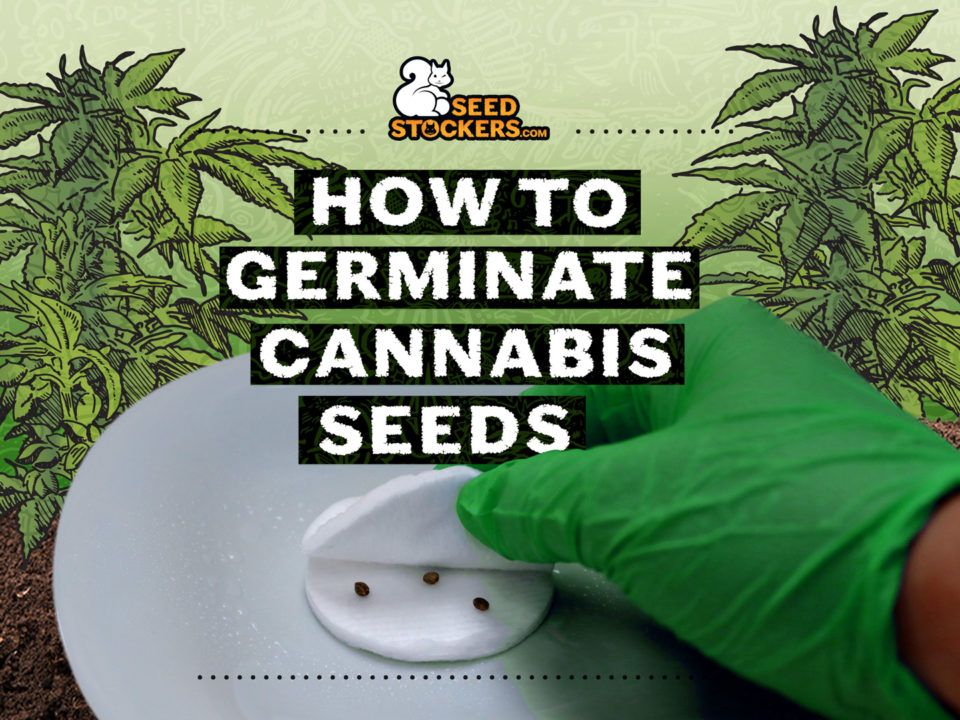 germinare cannabis