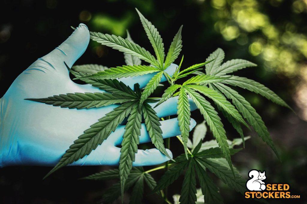 northern lights cannabis, Weedstockers