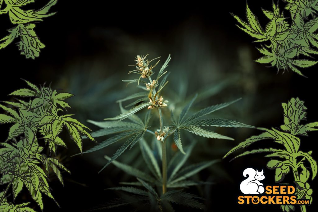 sessaggio della cannabis, Weedstockers