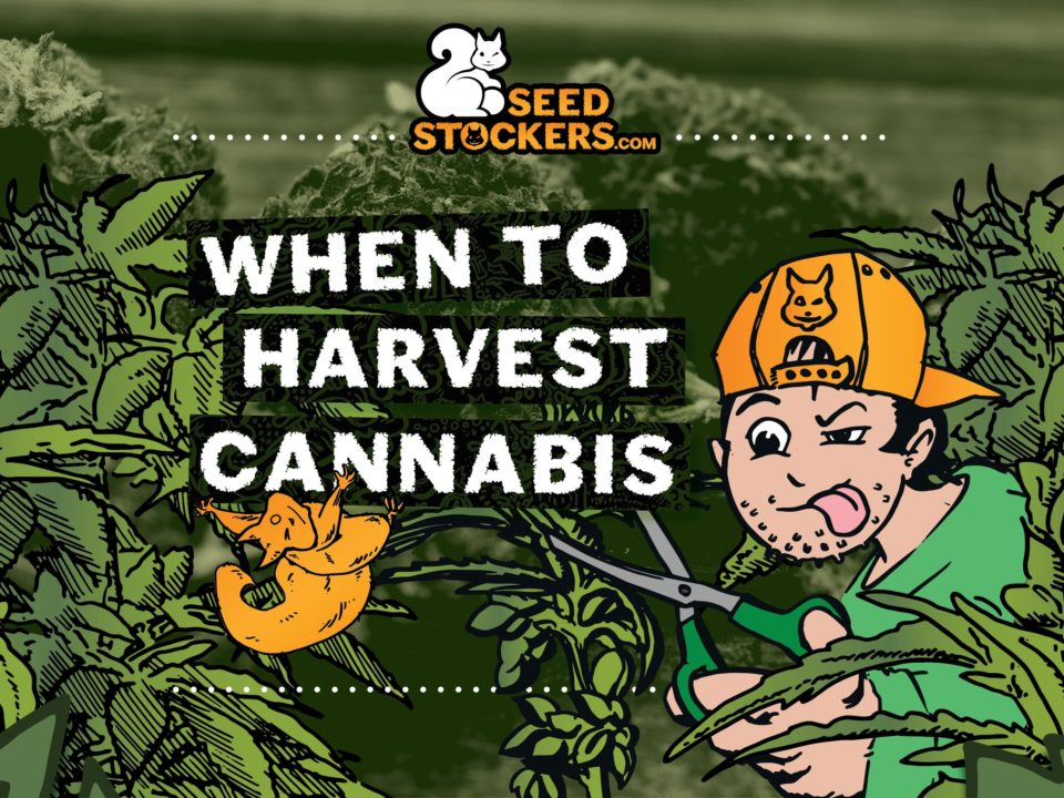 When_to_harvest_cannabis