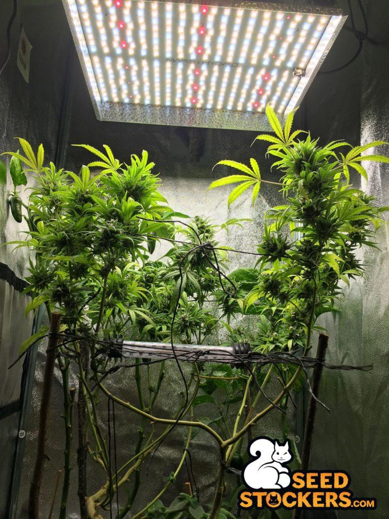 growing cannabis, Weedstockers