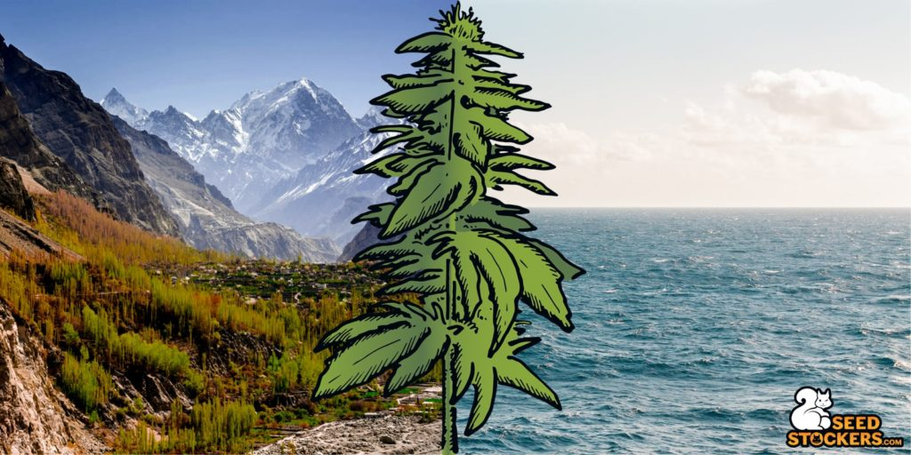 og kush, Weedstockers