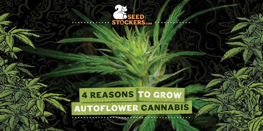 autoflowering, Weedstockers