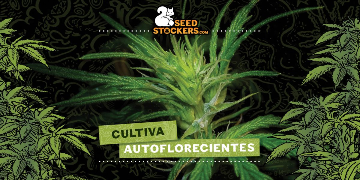autoflorecientes, Weedstockers