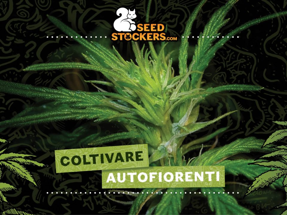 autofiorenti, Weedstockers