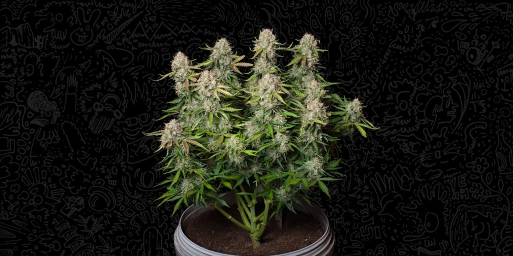 white widow autoflower, Weedstockers