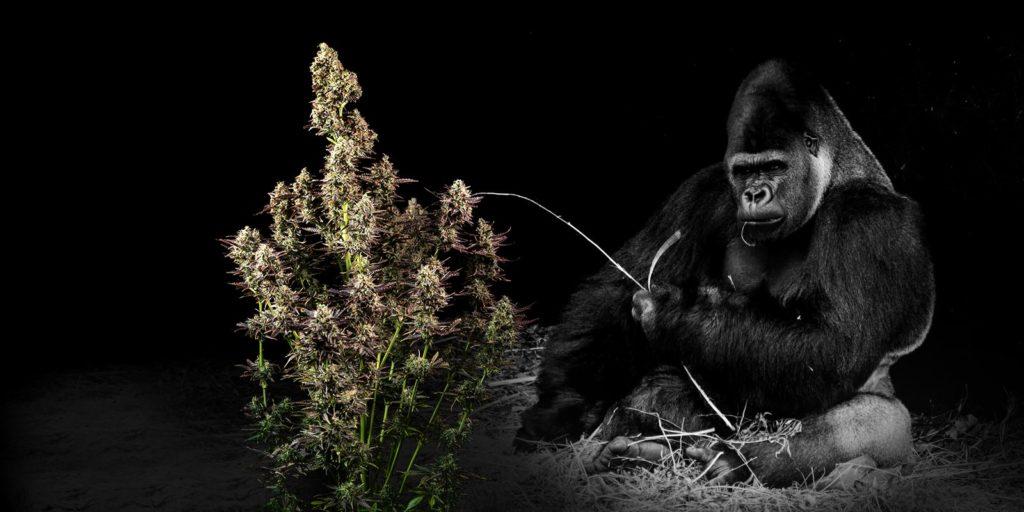 gorilla glue, Weedstockers